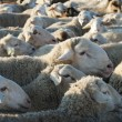 Flock of sheep. - Stock Photo