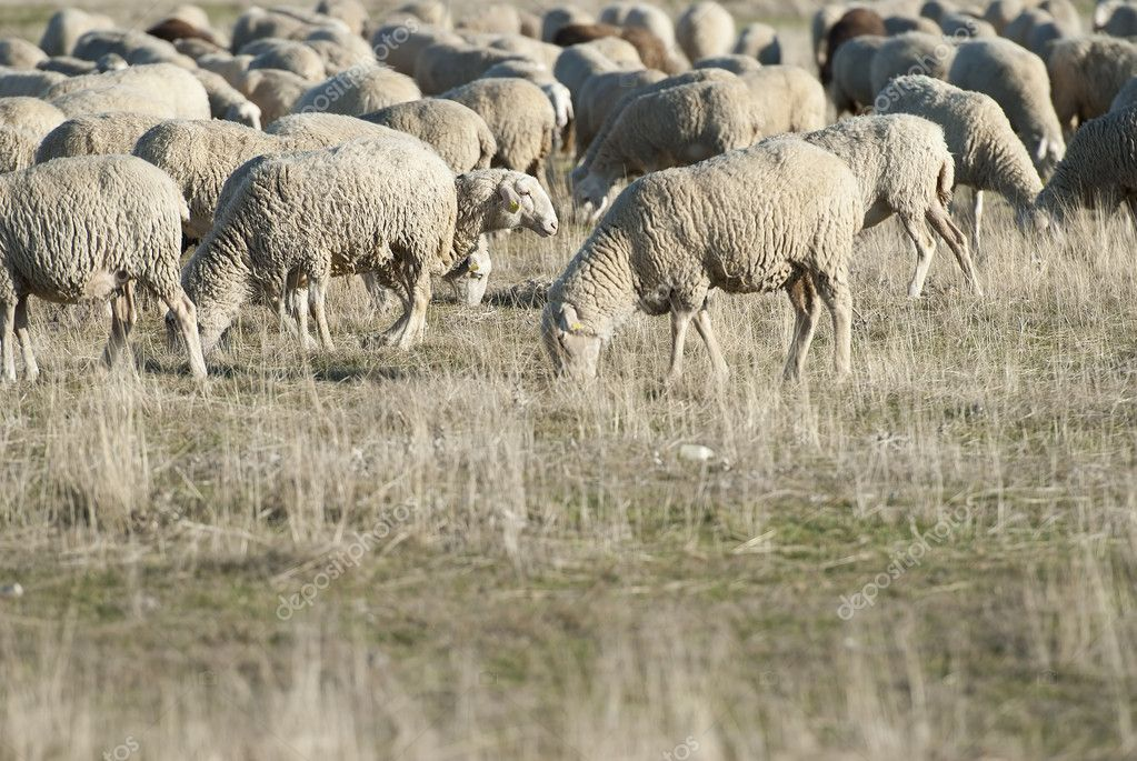 Sheep grazing in the field in a sunny day.  Stock Photo #9790018