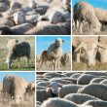 Sheep. — Stock Photo #9978707