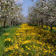 Apple orchard in spring — Stock Photo