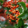 Branch of a mountain ash with ripe berries - Stock Photo