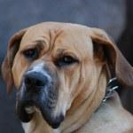 Old sad dog — Stock Photo #10485221