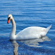 Swan in lake ohrid in macedonia — Stock Photo