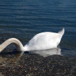 Swan in lake ohrid,macedonia — Stock Photo
