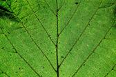 Green leaf texture,macro — Stock Photo