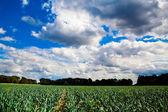 Garlic plantation. — Stock Photo