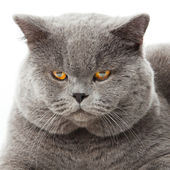 British shorthair cat on a white background. british cat isolated — Foto Stock
