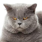 ブリティッシュショートヘアの猫白い背景の上。分離されたイギリスの猫 — ストック写真