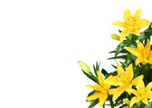 Yellow lilly flower on white background — Stock Photo