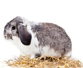 Adorabile coniglio isolato su sfondo bianco. — Foto Stock
