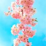 Sakura flowers blooming. Beautiful pink cherry blossom — Stock Photo #9765364