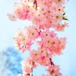 Sakura flowers blooming. Beautiful pink cherry blossom — Stock Photo #9765409