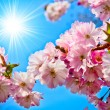 Sakura flowers blooming. Beautiful pink cherry blossom — Stock Photo #9765447