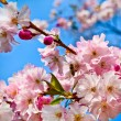 Sakura flowers blooming. Beautiful pink cherry blossom — Stock Photo #9765520