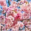 Sakura flowers blooming. Beautiful pink cherry blossom — Stock Photo #9765535