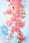 Sakura flowers blooming. Beautiful pink cherry blossom — Stok fotoğraf