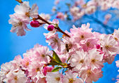 Sakura flowers blooming. Beautiful pink cherry blossom — Stock Photo