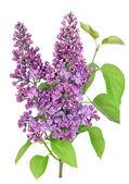 Ramo isolato lilla viola — Foto Stock