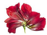 Anatomia roślin czerwony — Zdjęcie stockowe