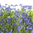 Stock Photo: Forget me nots blue border