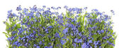 Forget me nots blue border — Stock Photo