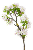 Old apple tree new flowers — Stock Photo