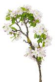 Old apple tree new flowers — Stock Photo