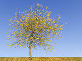 Lonely yellow tree against on sky — Stock Photo