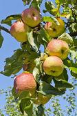真正苹果在树 barnch — 图库照片