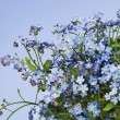 Stock Photo: Forget me nots Myosotis spring background