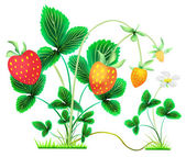 Strawberry bushes with berries and flower — Stock Photo