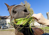 Funny red horse eat grass — Stock Photo