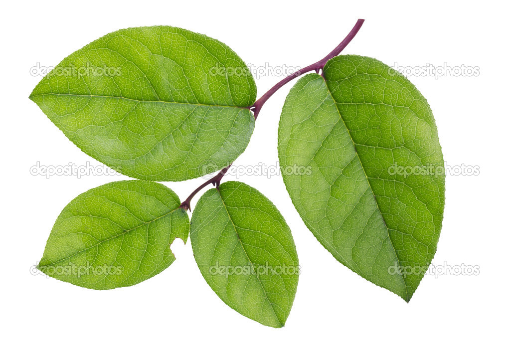 Textured isolated green branch with leaves — Stock Photo #9864746
