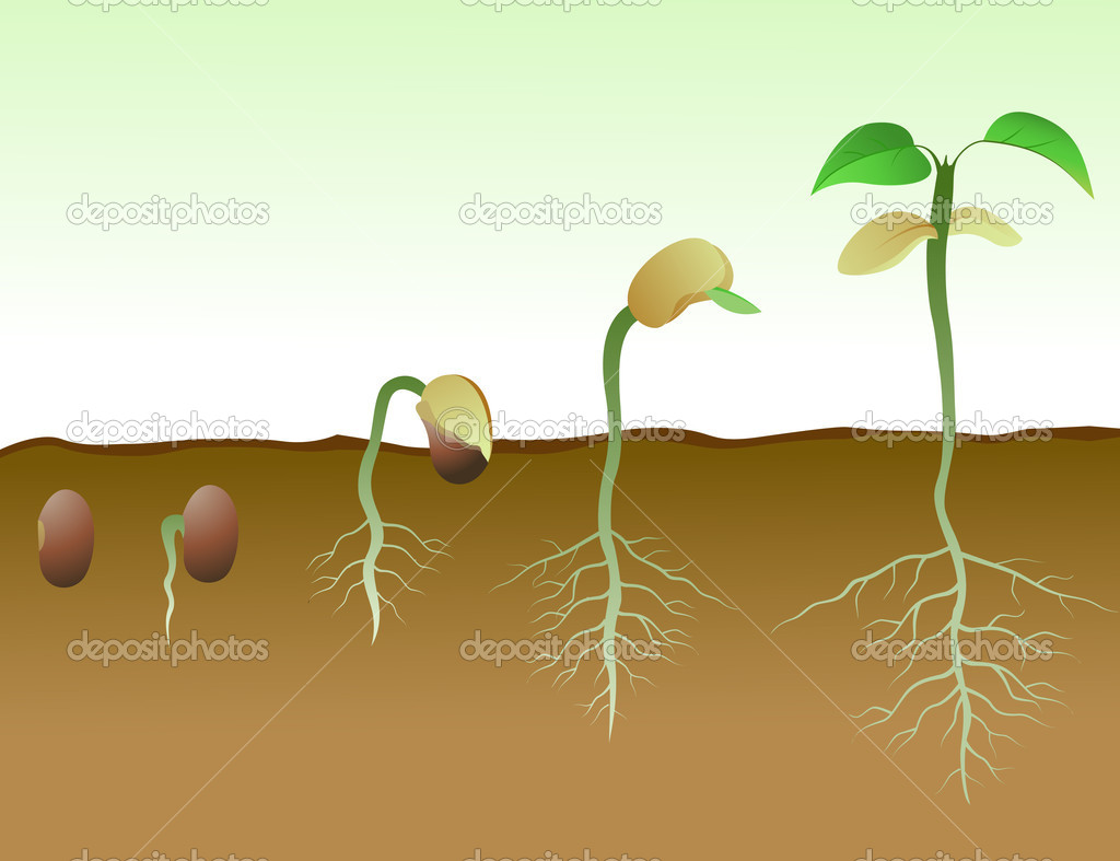 Bean Seed Germination Diagram Download