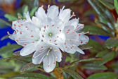 Cluster of white rhododendron flowers — Stock Photo