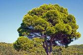 Stenen pijnbomen en bos op zakynthos eiland — Stockfoto