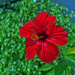Stock Photo: Red Hibiscus on Zakynthos island