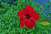 Hibiscus rojo en la isla de zakynthos — Foto de Stock