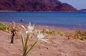 African lily on beach, Zakynthos island — Stock Photo