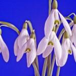 White common snowdrop flower on blue background — Stock Photo #10180142