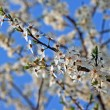 Small, white flowers on tree at spring — Stock Photo
