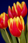 Bunch of tulip flowers on blue background — Stock Photo