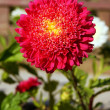 Foto Stock: Aster, flower in garden