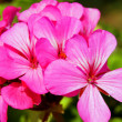 Стоковое фото: Little blue flower Pelargonium