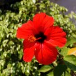 Red Hibiscus on Zakynthos island — Stock Photo