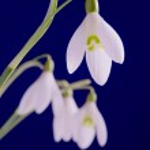 White common snowdrop flower on blue background — Stock Photo #9812284
