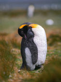 Chick emperor penguin — Foto Stock