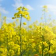 Rape field — Stock Photo #8607196