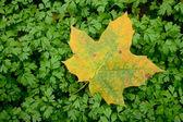秋叶上绿豆芽 — 图库照片