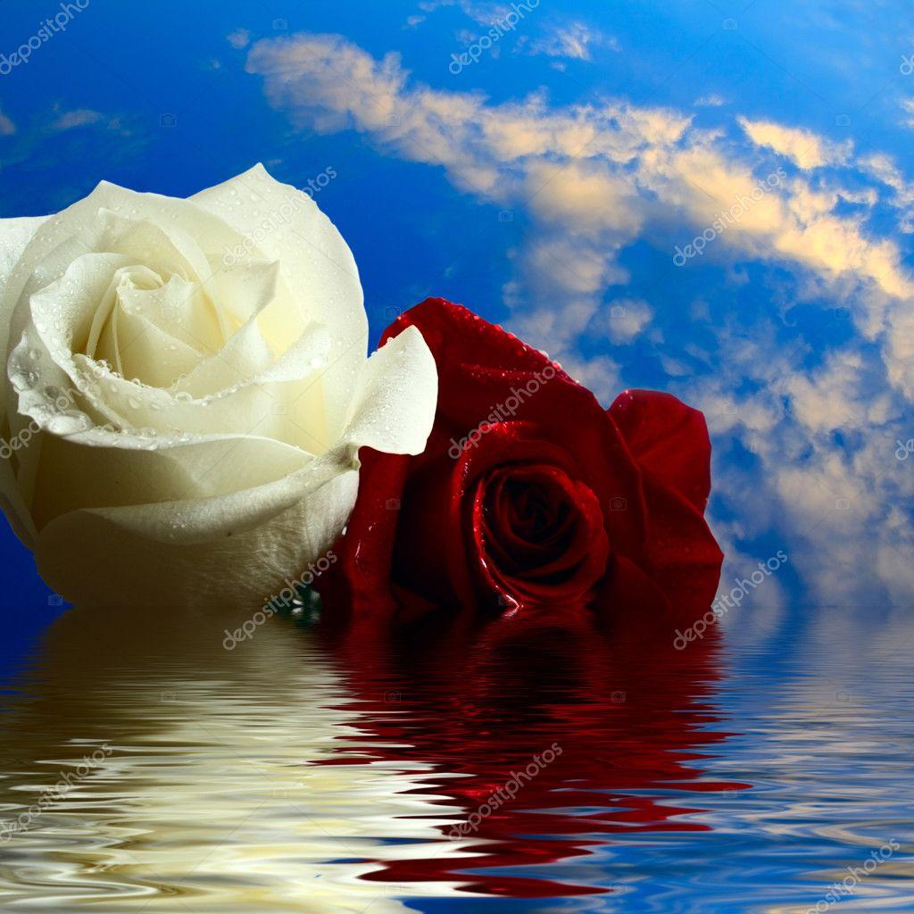 Imagenes De Rosas Sobre Agua